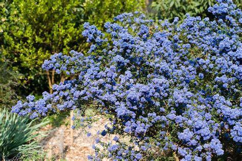 Ceanothus Dark Star Showing Blue Flowered Entire Shrub