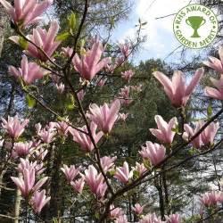 magnolia shrub varieties magnolia heaven scent scented magnolia buy heaven scent