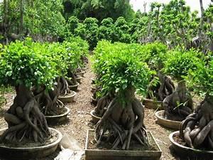 Bonsai Ficus Ginseng : ficus ginseng schede bonsai bonsai ficus ~ Buech-reservation.com Haus und Dekorationen
