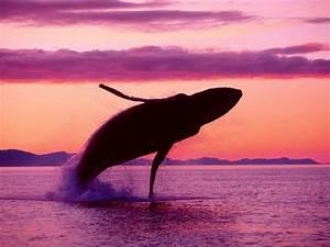 Feeding Habits - Blue Whale Balaenoptera musculus