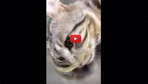 le lacrime della gatta salvata commuovono il web video