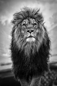 Lion - black and white by Takadk | Animal photography ...