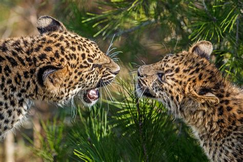 Big Cats Leopards Two Animals Leopard Wallpaper