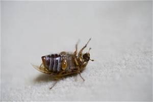 Ungeziefer Wohnung Kleine Braune Käfer : kleine braune k fer im schlafzimmer klassifizierung und ~ Lizthompson.info Haus und Dekorationen
