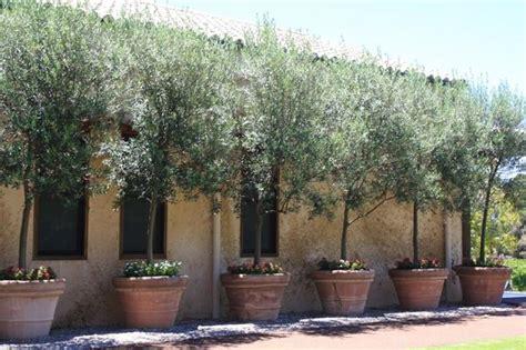alberi da frutto in vaso ulivo in vaso alberi da frutto coltivare l ulivo in vaso