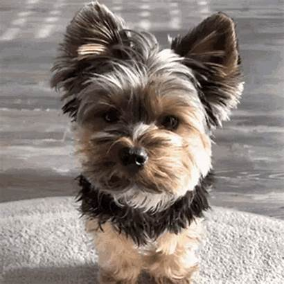 Yorkie Puppy Gifs Dog Sd Mp4 Tenor