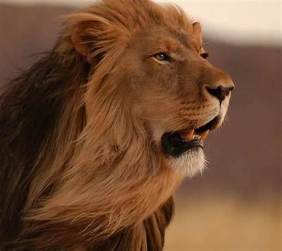 Animals Lion Mobile Wallpapers Desktop Backgrounds Wallup