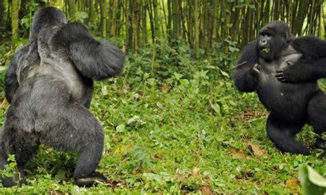 Silverback Gorilla Fight