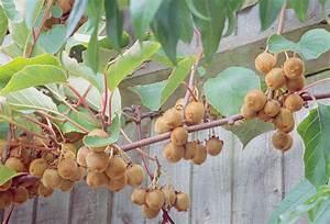 Tailler Les Kiwis : quels fruitiers tailler en t ~ Farleysfitness.com Idées de Décoration