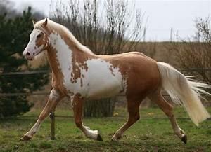 palomino overo - Paint Horse stallion Samy | The Horse of ...