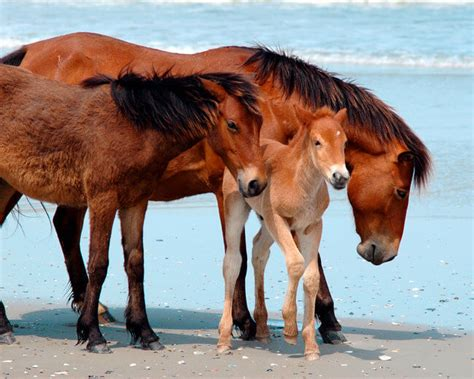 horses wild outer banks horse carolina north nc corolla obx beach inbreeding island ponies beaches herd mustangs animal mice fate