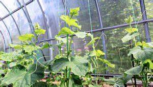 Gurken Pflanzen Gewächshaus : gurken im gew chshaus pflanzen tipps zum anbau ~ Pilothousefishingboats.com Haus und Dekorationen