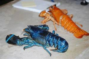 Blue and Albino Lobsters - Picture of Ryer Lobsters ...