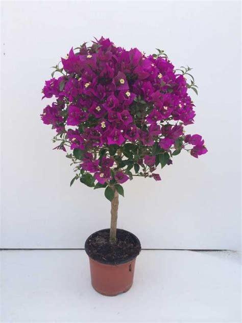 bouganville vaso primavera a buganv 237 lia como fazer mudas cuidados e
