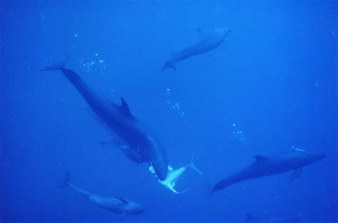 false killer whales huntingunderwater photography guide