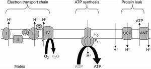 Mitochondria To Motion  Optimizing Oxidative