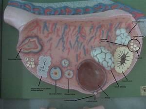 Anatomy Of An Ovary