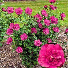 Garten Pflanzen Umsetzen by Hibiskus Richtig Schneiden Garten Gartenhibiskus