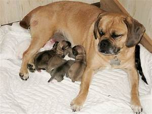 Baby Puggle Puppy | www.pixshark.com - Images Galleries ...