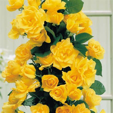Golden Showers Golden Showers Rosa Garden Roses Cottage Garden