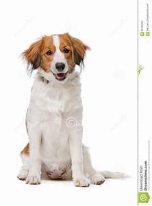 Brown And White Kooiker Dog Stock Photo - Image: 56785342