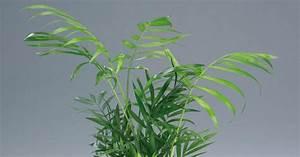 Feucht Werden Tipps : bergpalme chamaedorea elegans informationen tipps ~ Lizthompson.info Haus und Dekorationen