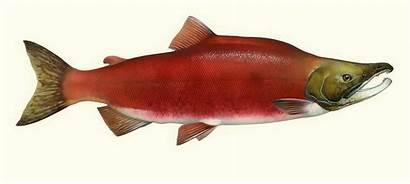 Salmon Sockeye Drawing Dreams Mountain Fish Drawings