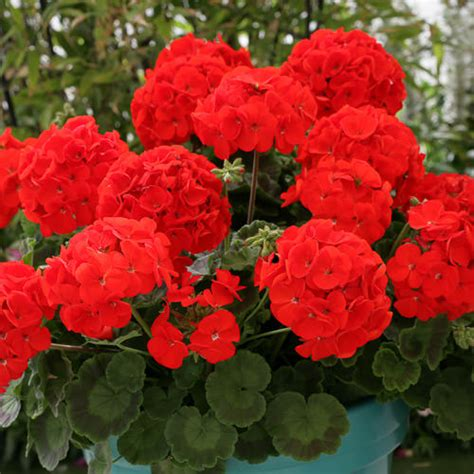 picture of geranium flower geranium ivy geranium creeper plant buy plants online india