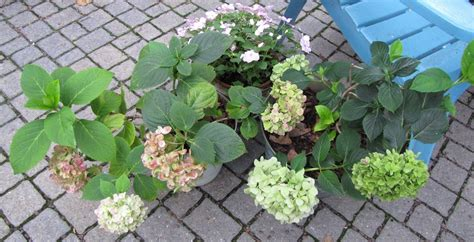 care of hydrangeas in pots views from the garden how to care for potted mophead hydrangea