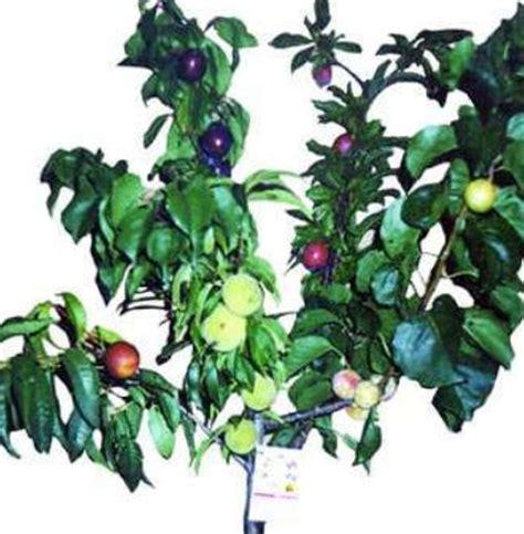 fruit salad tree california landscape design fruit salad tree