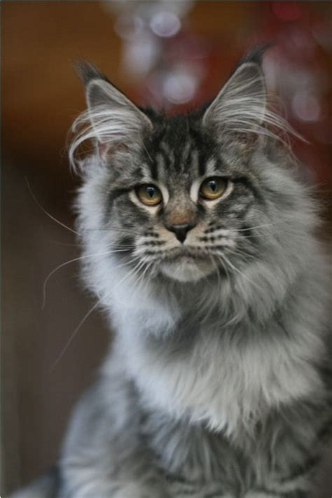 do maine coons shed do maine coons shed 28 images shedding page 4
