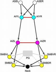 Putative Minimal C  Elegans Klinotaxis Circuit  Adapted From