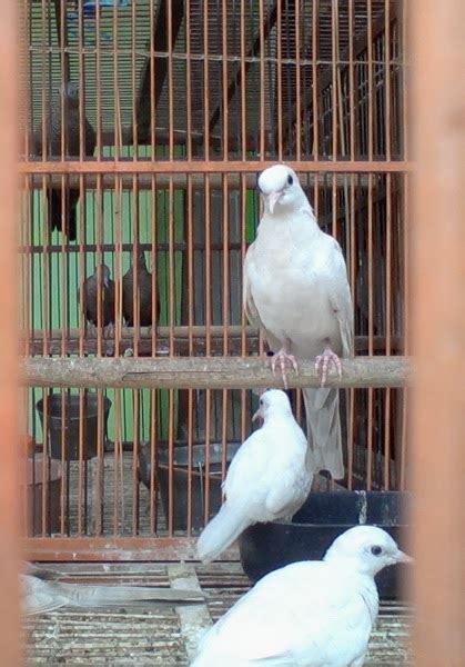 jual kutut jual burung perkutut putih lokal harga terjangkau