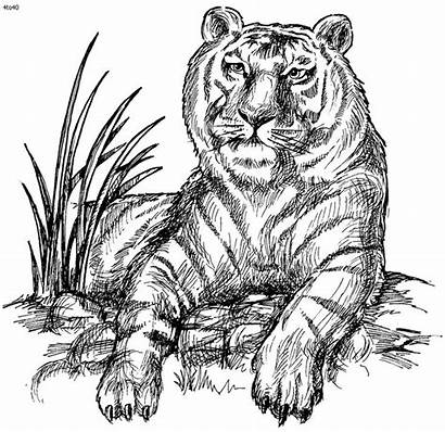 Tiger Coloring Pages Adults Siberian Animals Sheets