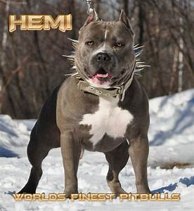 Pitbull On Steroids | www.pixshark.com - Images Galleries ...