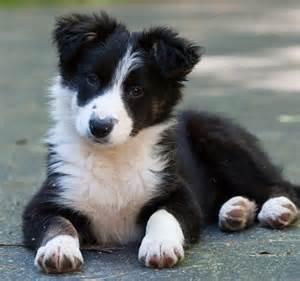 Cute Border Collie Puppy