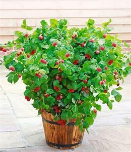 Heidelbeeren Pflanzen Balkon : topf himbeere 39 ruby beauty 39 himbeeren bei baldur garten ~ Lizthompson.info Haus und Dekorationen