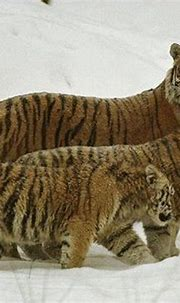 There are Three Remaining Species of Tigers::Siberian ...