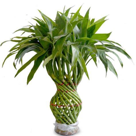 kegunaan tanaman unik bambu rejeki dunia pusaka sakti