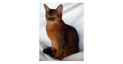 ruddy abyssinian cat postcards zazzlecom