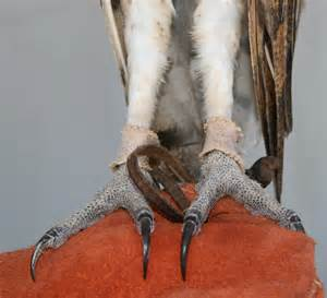 Barn Owl Talons