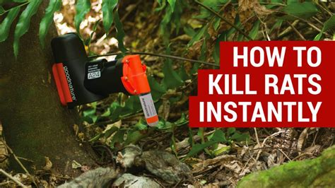kill rats instantly  humane traps