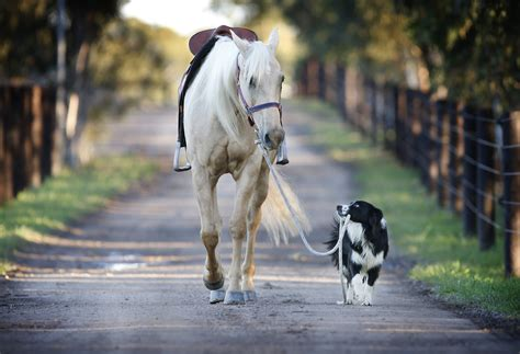 horses dogs lead take these horse dog cute border pet pony collie walking leading rides equestrian together trick than pes