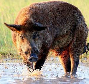 Feral hogs move into Beaumont golf course, cemetery ...