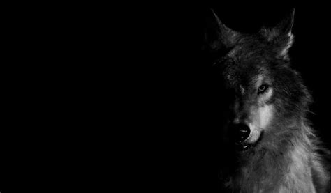 Black Wolf Wallpaper Laptop by Wolf Pictures Wallpapers Wallpaper Cave