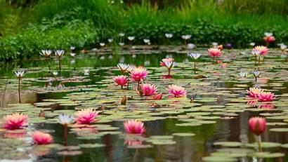 Flowers 4k 5k Lotus Pond Pink Resolutions