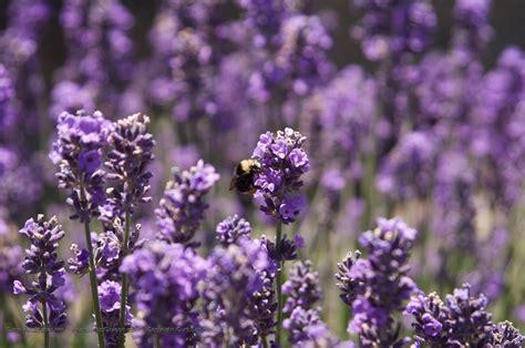 bee  purple flowers desktop wallpaper