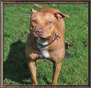 Images For > Pitbull Red Nose Female