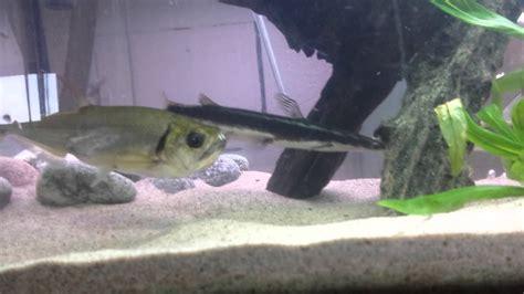 monster fishaquarium payara eat  hydrocynus youtube
