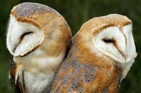 barn owl facts 10 facts about barn owls fact file